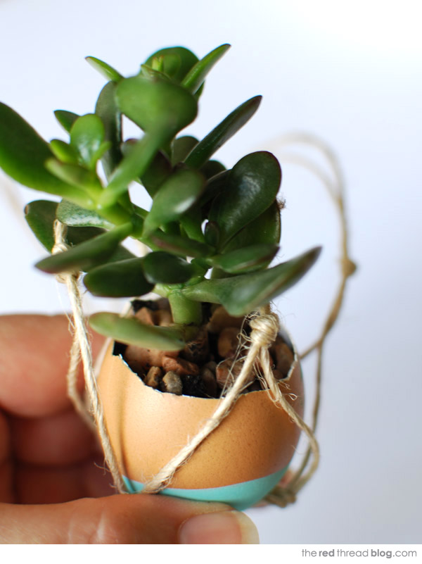 the red thread succulent egg